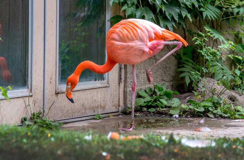 Фламинго ждет на двери около его среды обитания зоопарка стоковые изображения rf
