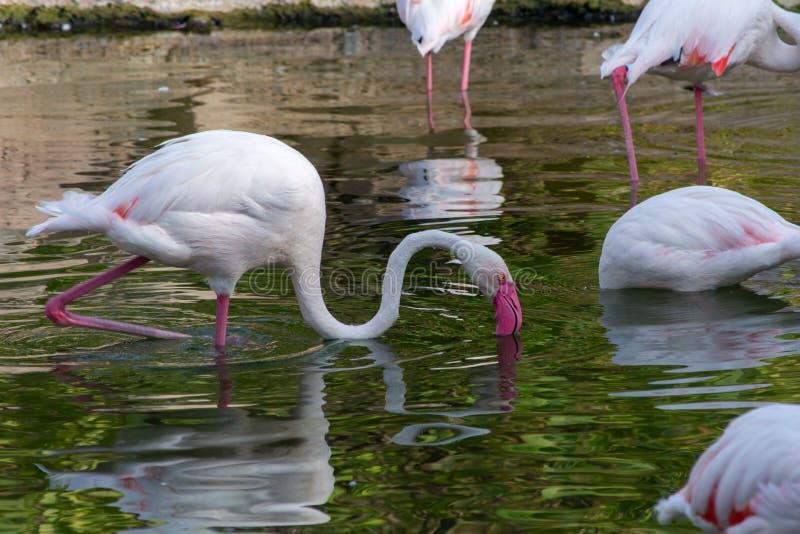 Фламинго ищет еды на заходе солнца в roseus Al Ain, ОАЭ Phoenicopterus Объениненных Арабских Эмиратов стоковые изображения