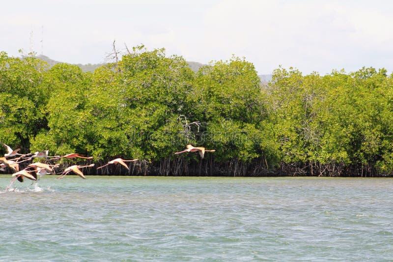 Фламинго летая над карибским морем стоковые фото
