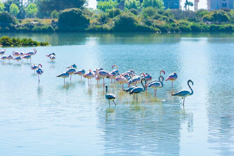 Фламинго отдыхая в варнице стоковые фото