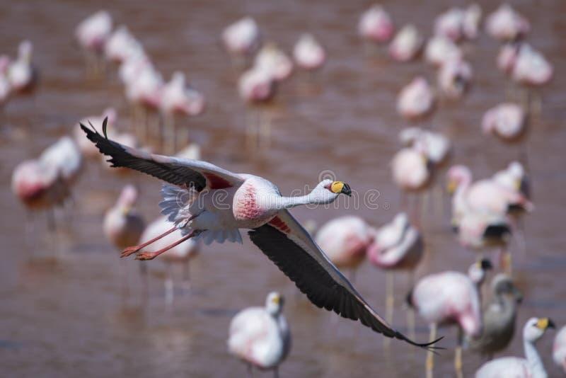 Фламинго принимает полет в ` s Салара de Uyuni Боливии стоковое изображение rf
