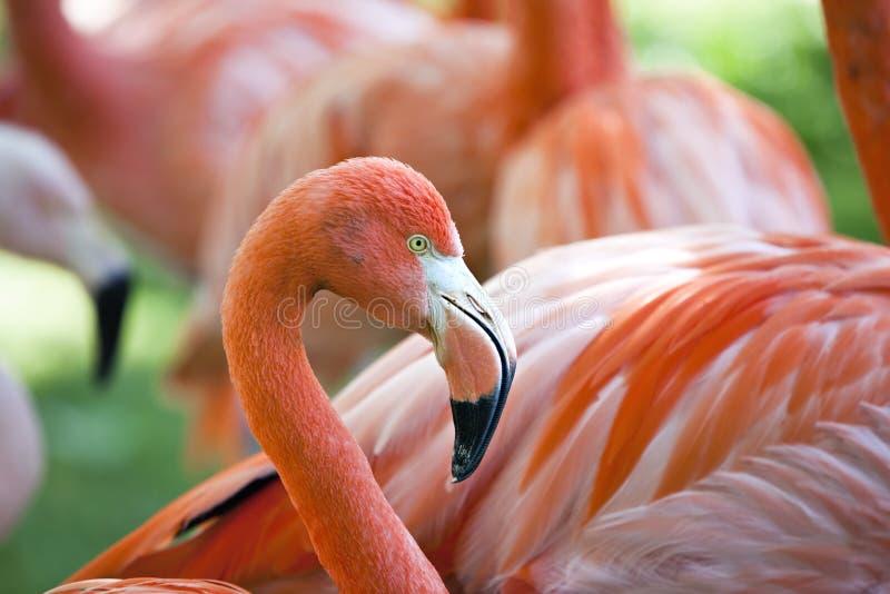 фламинго птиц стоковые фото