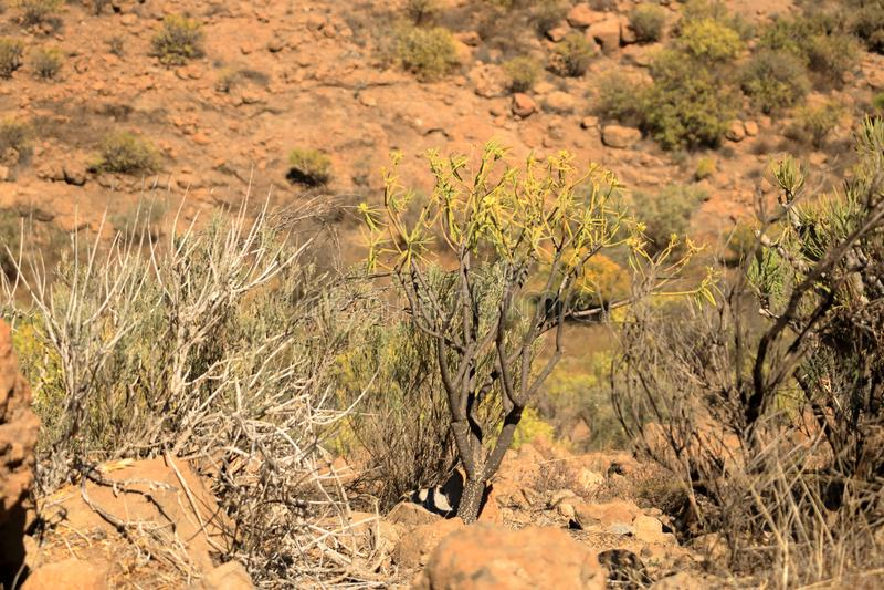 Флора Гран-Канарии, желтых цветков foliolosus Adenocarpus стоковые изображения