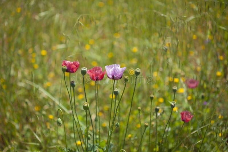 Флора Гран-Канарии - розовых маков стоковые изображения
