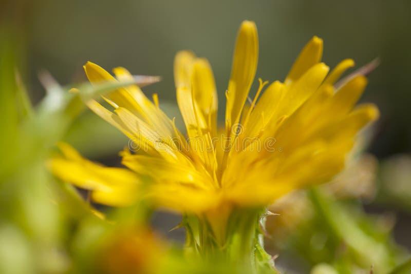 Флора Гран-Канарии - grandiflorus Scolymus стоковые изображения rf
