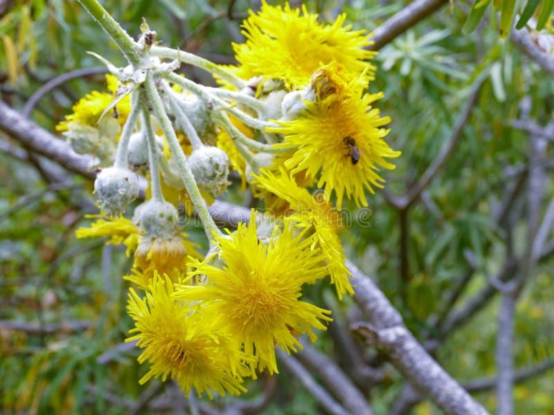 Флора Gran Canaria - acaulis Sonchus, эндемического заболевания тяжелого дыхания к центральным Канарским островам стоковые изображения