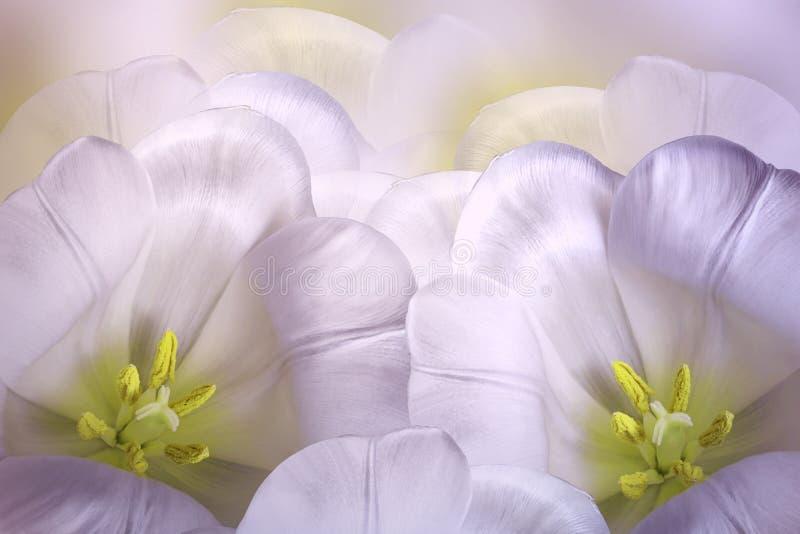 Флористическая весна зрозов-бел-желтая предпосылка Цветение тюльпанов цветков розовое Конец-вверх карточка 2007 приветствуя счас стоковая фотография rf
