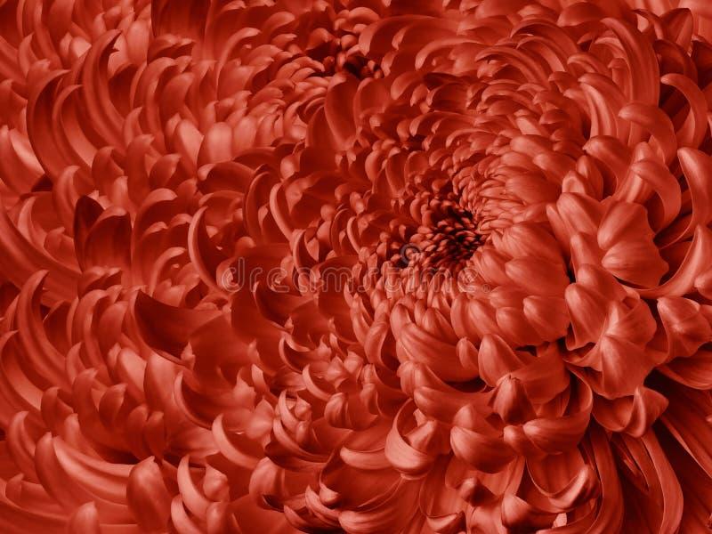 флористическая красная предпосылка Конец-вверх хризантемы цветка голубой Лепестки хризантемы стоковые изображения rf