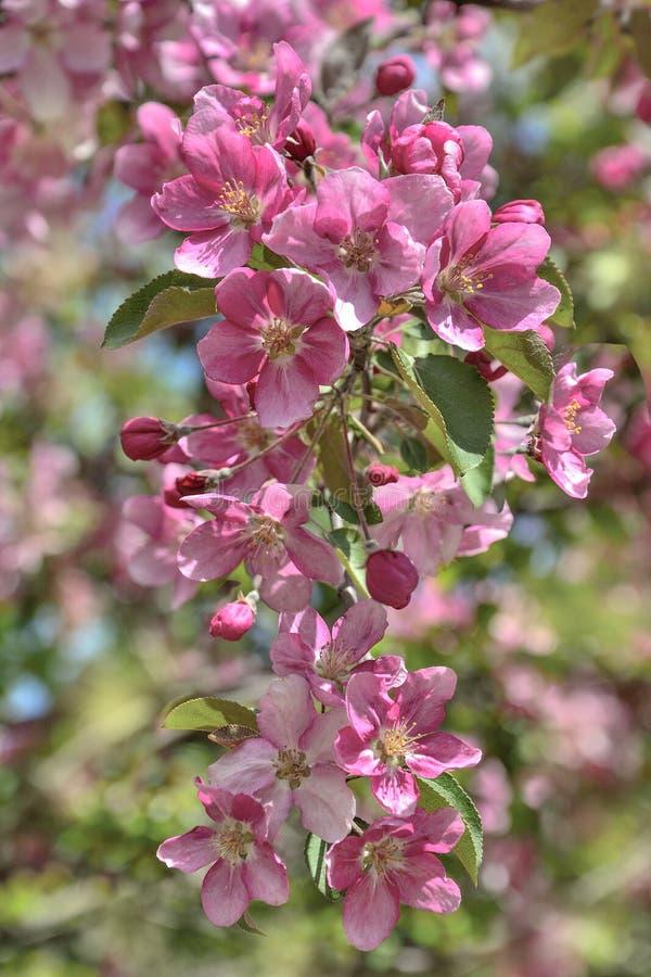 Флористическая предпосылка весны - цвести ветвь яблони с нежными розовыми лепестками стоковые фото