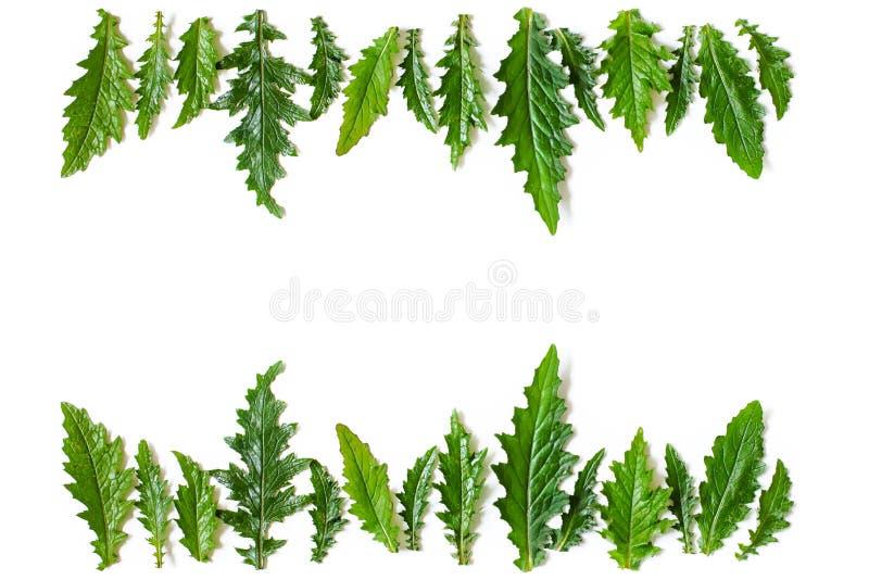 Флористическая рамка от рядов зеленого цвета влажные листья Thistle стоковое изображение rf