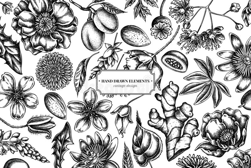 Флористический дизайн с черно-белой миндалиной, одуванчиком, имбирем, цветком мака, цветком страсти, cordata липы иллюстрация штока