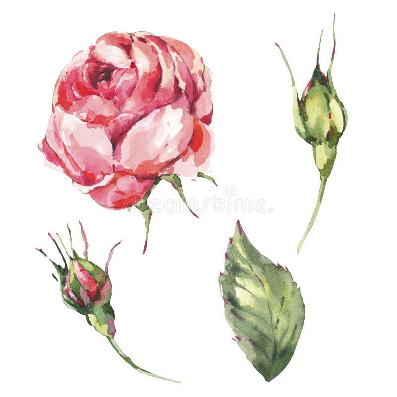 Флористический набор красной розы классической акварели винтажной, листьев, бутонов иллюстрация вектора