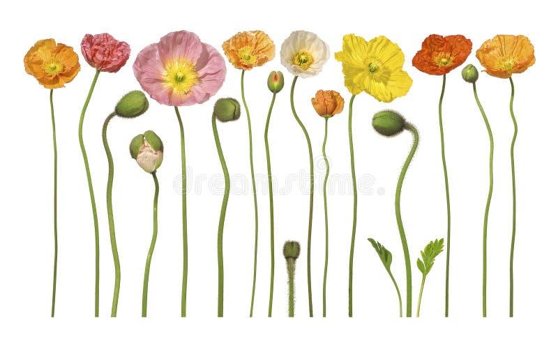 флористический цветок цветет мак стоковое фото