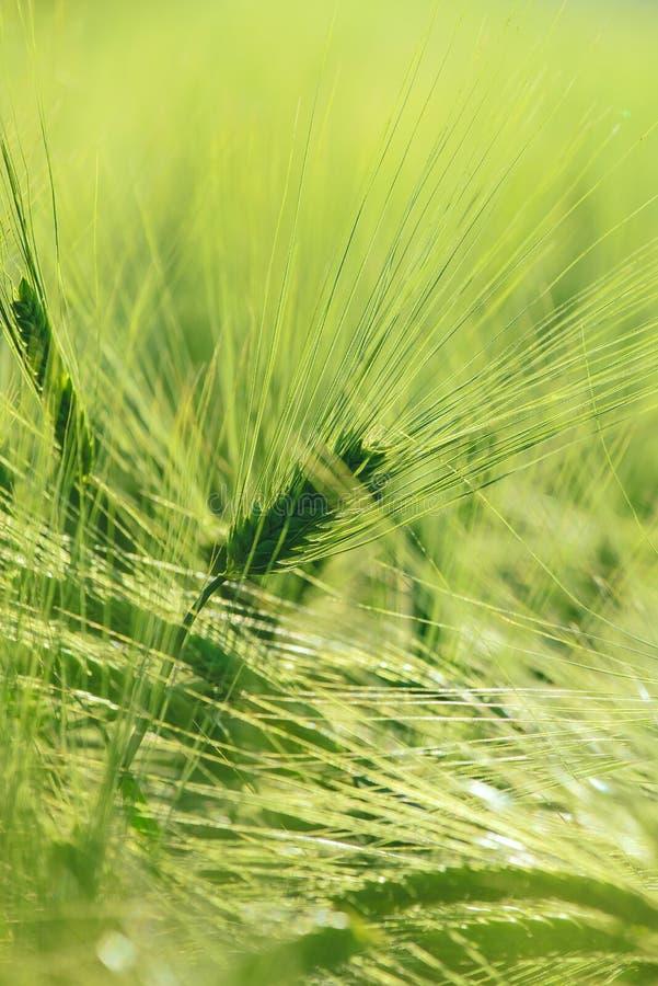 Фокус зеленых ушей ячменя селективный стоковые фотографии rf