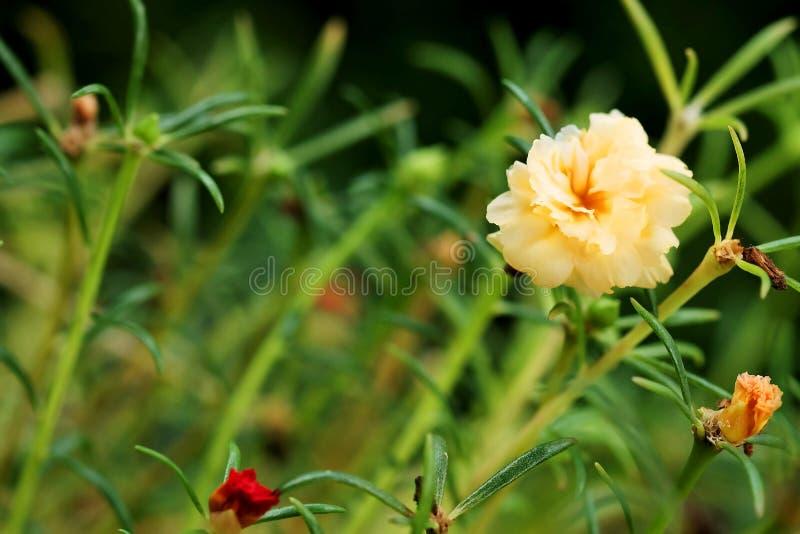 Фокус конца поднимающий вверх и мягкий желтого цветка Rosemoss в зеленой предпосылке сада стоковая фотография rf
