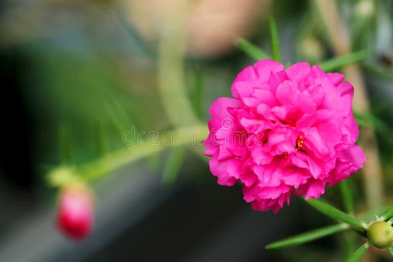 Фокус конца поднимающий вверх и мягкий розового цветка Rosemoss в зеленой предпосылке сада стоковая фотография rf