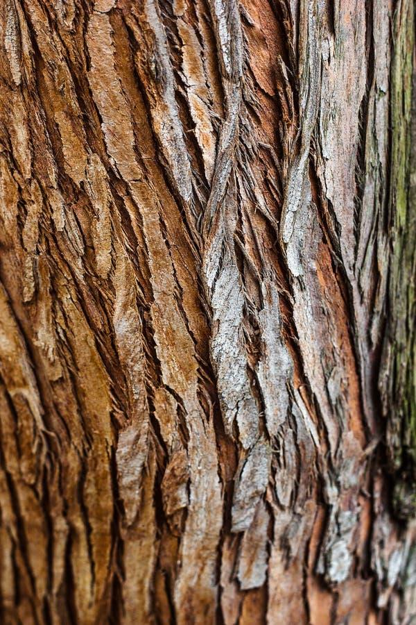 Фокус крупного плана текстуры коры дерева селективный Польза расшивы Брайна деревянная как естественная предпосылка расшива стара стоковые изображения