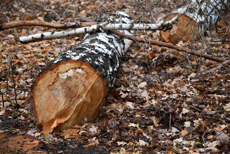 Фокус к белой треснутой коре березы на спиленном стволе дерева Резать ветви дерева Ствол дерева поперечного сечения с запачканной стоковое изображение rf