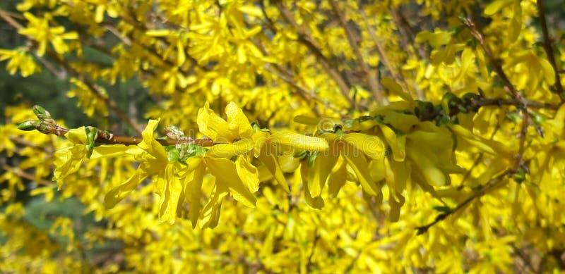 Фокус на дереве Forsythia стоковая фотография rf
