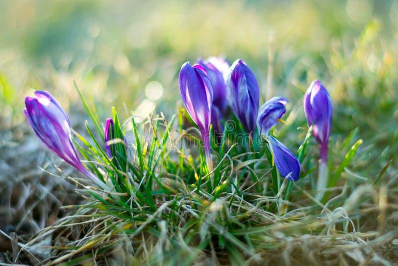 Фокус фиолетового крокуса крокусов sativus мягкий и отраженное bokeh стоковые изображения rf