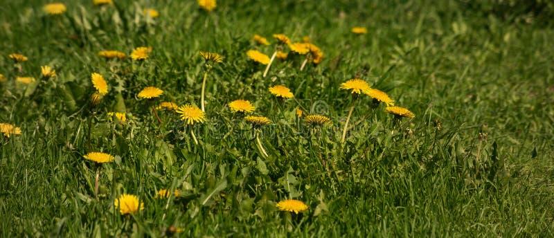 Фон желтого одуванчика в поле стоковое фото rf