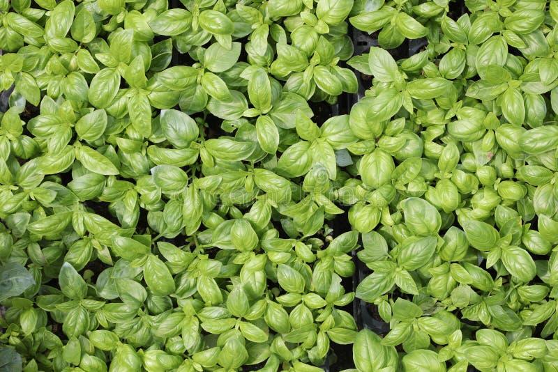 фон листьев базилика для продажи в среднеземноморском countr стоковое изображение