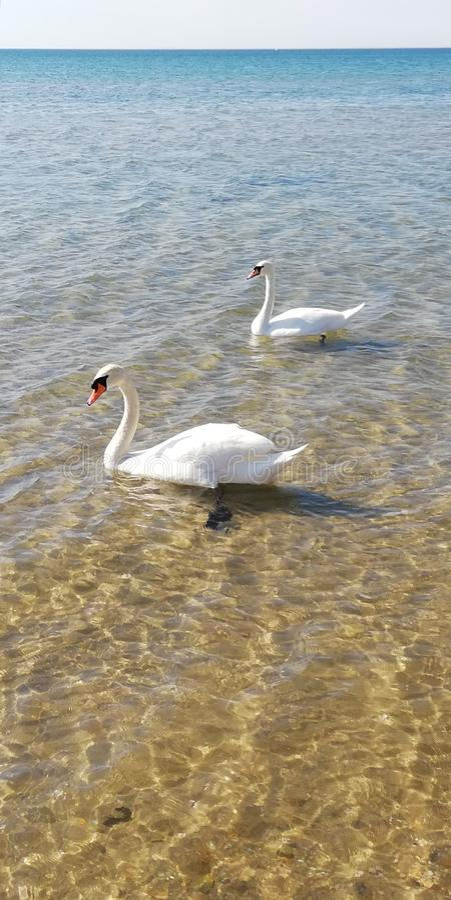 Фон. Пара лебедей на воде. Символ любви и верности stock image