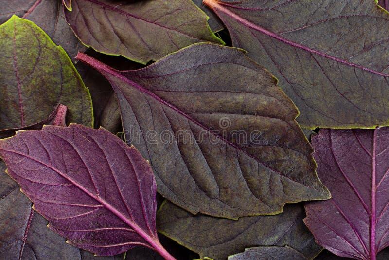 Фон пурпурной травы базилика стоковые фото