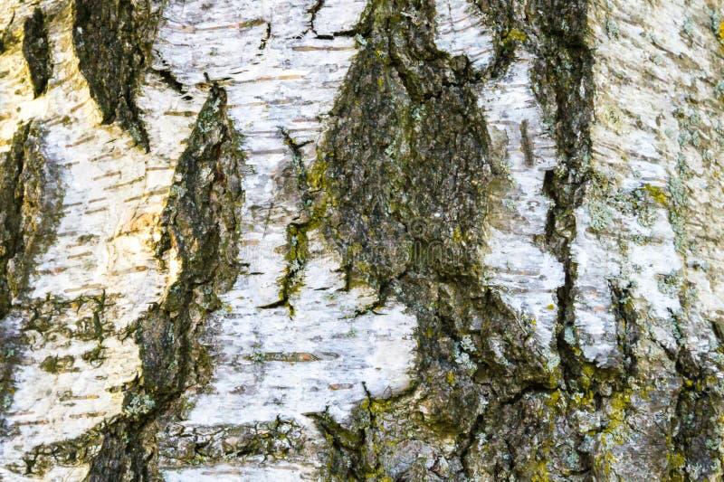Фон расшивы березы стоковое фото