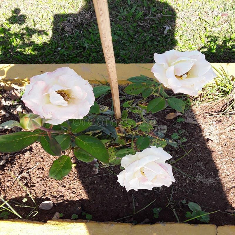 Фон цветков белой розы красивый свежий розовый стоковое фото rf