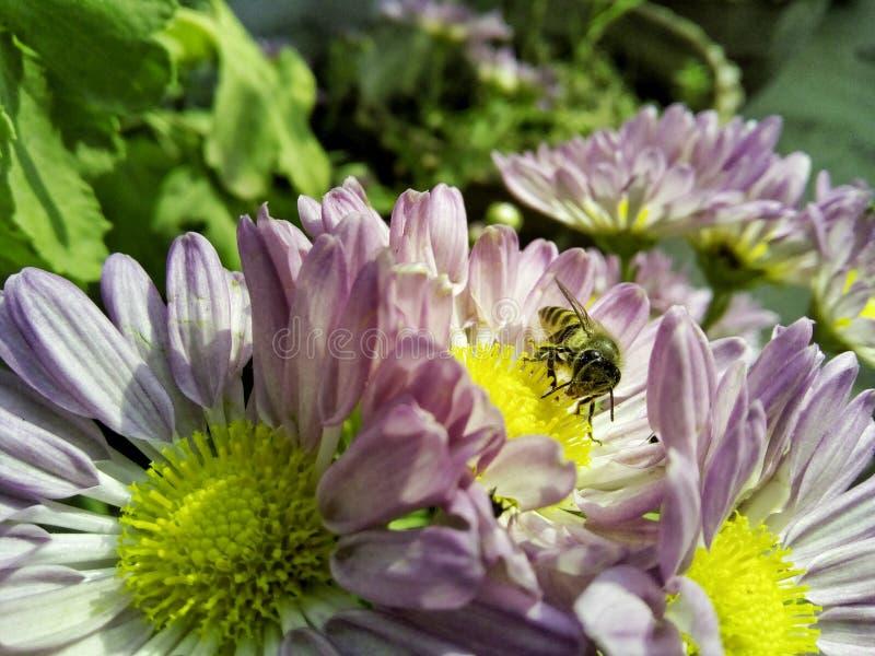 Фотографируют пчелу стоковое изображение