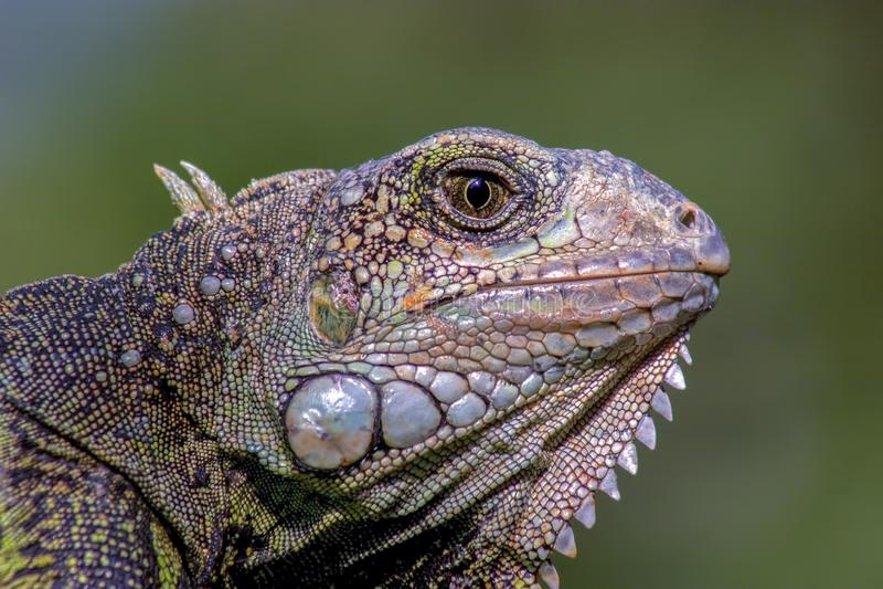 Фотография конца-вверх головы зеленой игуаны стоковые изображения