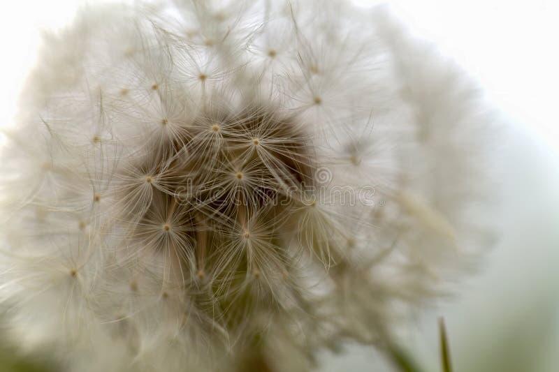 Фотография макроса головы семени одуванчика стоковые фотографии rf