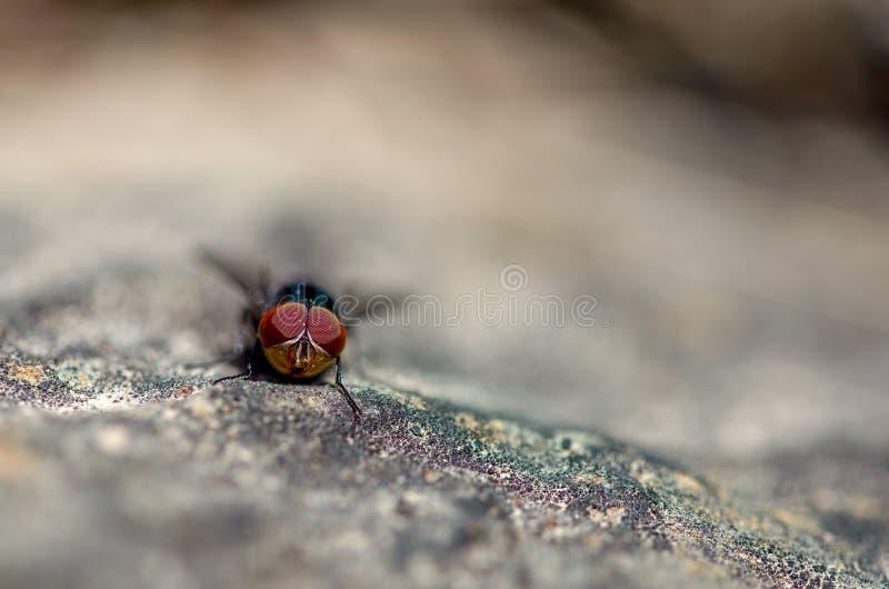 Фотография макроса голубой мухы на утесе стоковое фото rf