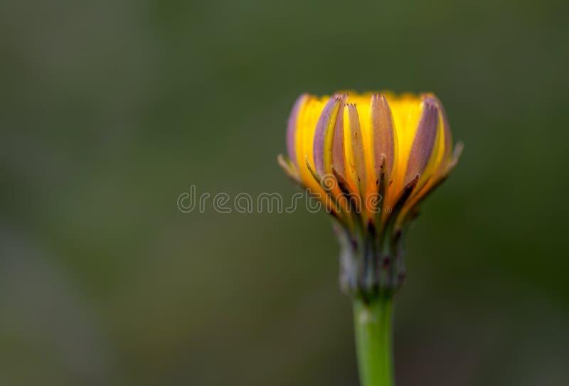 Фотография макроса закрытого цветка одуванчика стоковое изображение
