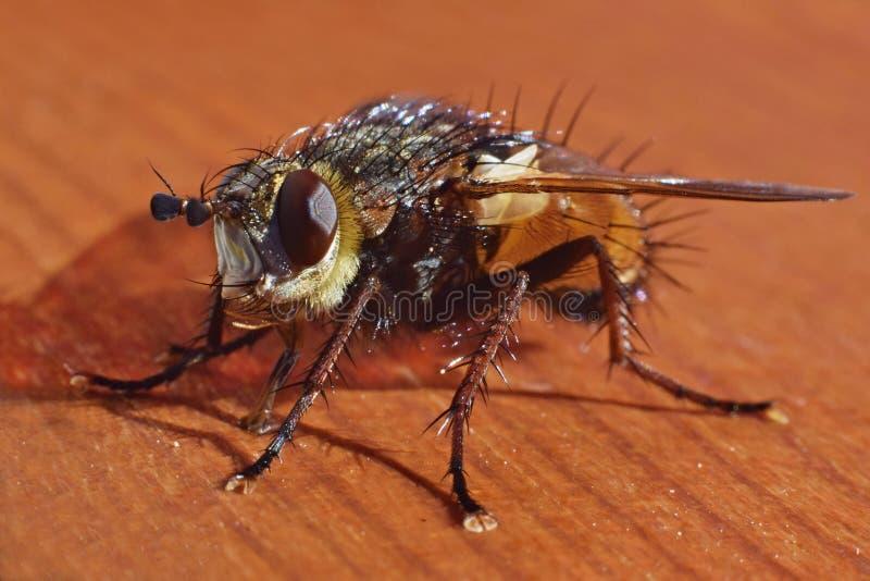 Фотография макроса мухы стоковая фотография rf