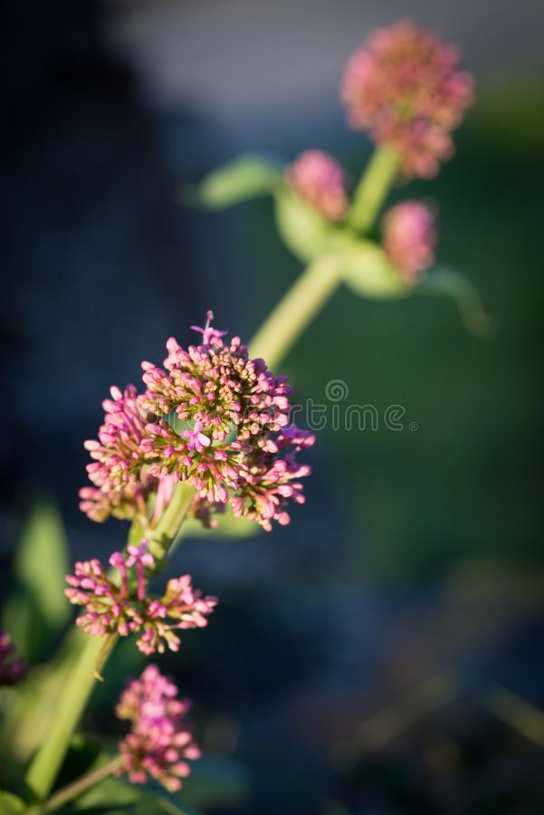 Фотография макроса розового цветка стоковая фотография