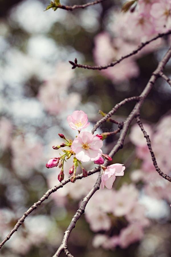 Фотография макроса цветения Яблока стоковое фото rf
