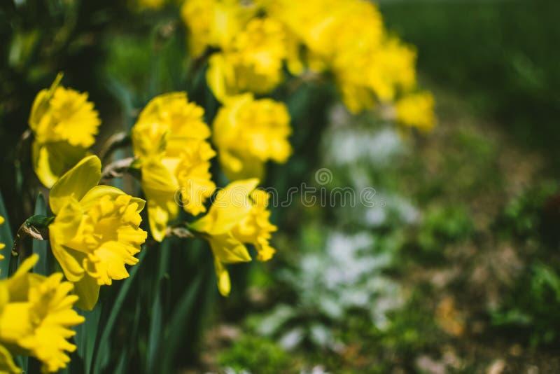 Фотография цветов желтого дафодила стоковые фото