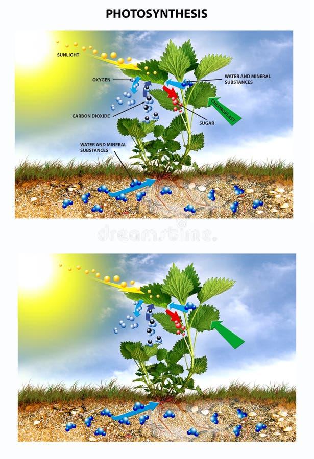 Фотосинтез иллюстрация вектора