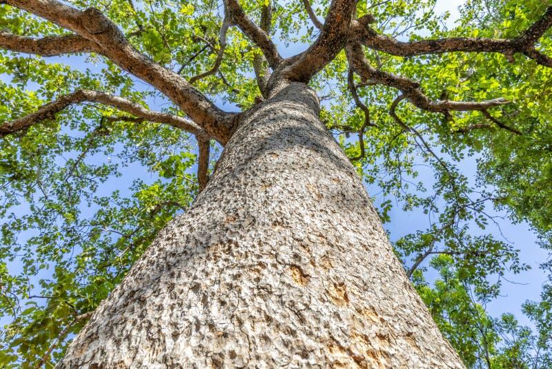 Фотоснимки больших, больших деревьев принятых из-под к верхней части деревьев, листьев на предпосылке неба, в солнечном дневном в стоковое фото rf