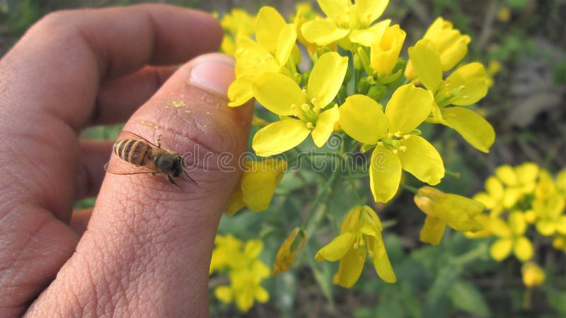 Фотоснимок макроса, жало пчелы меда, сидя в наличии, на большом пальце руки, цветках, саде, лете или весне стоковые фотографии rf