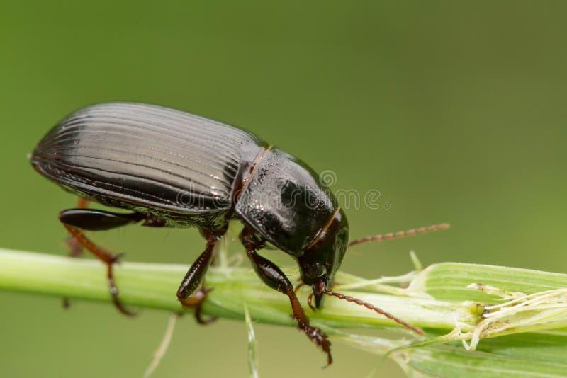Фотоснимок макроса жука сидя на черенок травы Жук ест траву стоковые фото