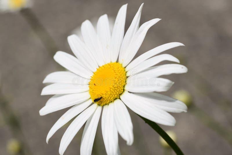 Фотоснимок маргаритки зацветая во дворе, принятый используя объектив макроса стоковая фотография
