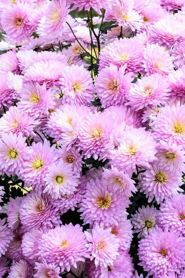 Фото белого и розового вишневого цвета Взгляд сверху, плоское положение, космос экземпляра r Красивые цветки стоковая фотография rf