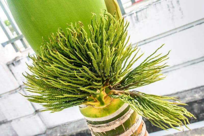 Фото бутона ладони, merrillii adonidia стоковое фото rf