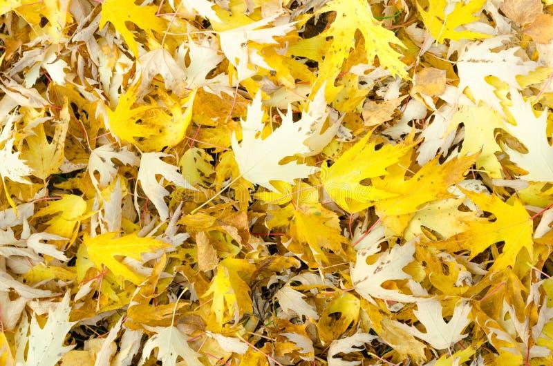Фото взгляд сверху близкое поднимающее вверх красивое яркое желтых листьев упаденных на зеленую свежую траву на солнечный день ос стоковая фотография