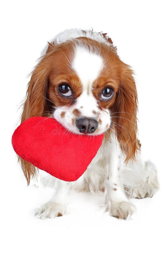 Фото дня валентинок Собака с слышит Щенок с сердцем sof плюша Spaniel дня ` s валентинки Влюбленность щенка Милый король Карл стоковая фотография
