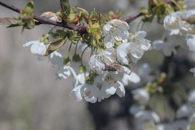 Фото зацветая вишневого дерева стоковое изображение rf
