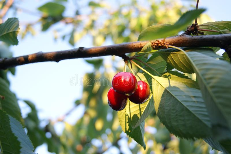 Фото зрелой вишни стоковые изображения